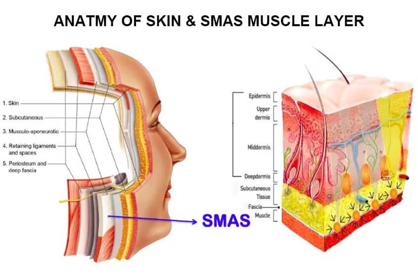 ANATMY OF SKIN & SMAS MUSCLE LAYER
